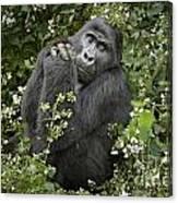 Mountain Gorilla Praying Canvas Print