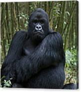 Mountain Gorilla Silverback Canvas Print