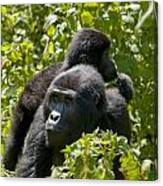 Mountain Gorilla With Infant  Canvas Print