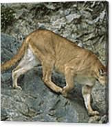 Mountain Lion Crossing Rocky Terrain Canvas Print