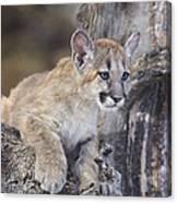 Mountain Lion Cub On Tree Branch Canvas Print