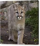 Mountain Lion Cub Walking Canvas Print