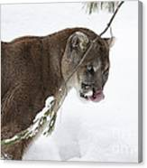 Mountain Lion In A Snow Covered Pine Forest Canvas Print