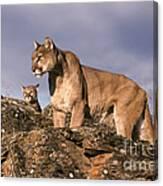 Mountain Lions Felis Concolor Canvas Print