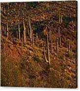 Mountainside Of Cacti Canvas Print
