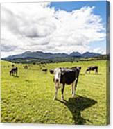Mourne Cows Canvas Print