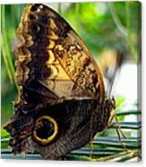 Mournful Owl Butterfly In Sunlight Canvas Print