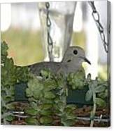 Mourning Dove Nesting Canvas Print