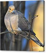 Mourning Dove On Limb Canvas Print