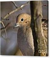 Mourning Dove Pictures 39 Canvas Print