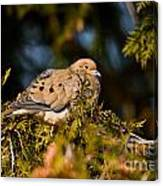 Mourning Dove Pictures 64 Canvas Print