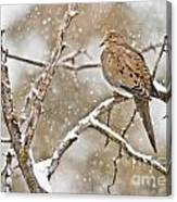 Mourning Dove Pictures 68 Canvas Print