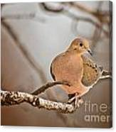 Mourning Dove Pictures 71 Canvas Print