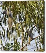 Mourning Doves Landing In Eucalyptus  Canvas Print