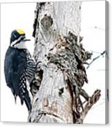 Mr. Black-bscked Woodpecker Canvas Print