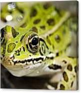 Mr. Froggy Canvas Print