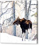 Mr. Moose Canvas Print
