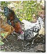 Mr. Rooster And All The Chickens Scratching For A Snack Canvas Print
