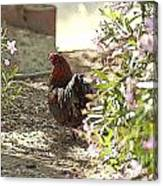 Mr. Rooster Takes A Stroll Canvas Print