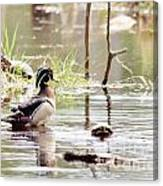 Mr. Wood Duck And Friends Canvas Print