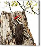 Mr.pileated Poses Canvas Print