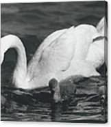 Mrs, Swan And Her Kids Enjoy Spring - Sun Canvas Print