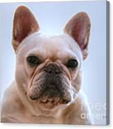 French Bulldog Seriously Canvas Print