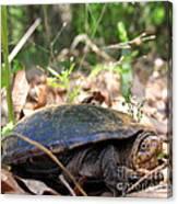 Mud Turtle Canvas Print