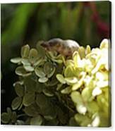 Muis In Hortensia Canvas Print