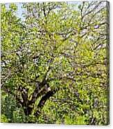 Mulberry Tree Canvas Print
