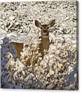 Mule Deer   #0061 Canvas Print