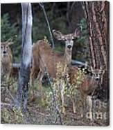 Mule Deer Doe With Fawns Canvas Print