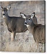 Mule Deer Does Canvas Print