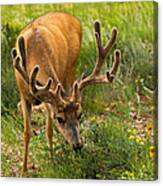 Mule Deer In Beaver Meadows In Rocky Mountain National Park Canvas Print