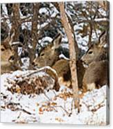 Mule Deer In Snow Canvas Print