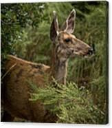 Mule Deer On Alert Canvas Print