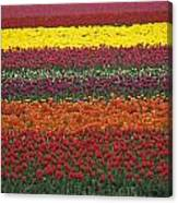 Mult-colored Tulip Field Canvas Print