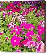 Multi-colored Blooming Petunias Background Canvas Print