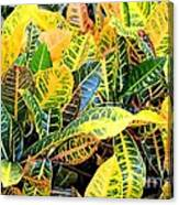 Multi-colored Croton Canvas Print