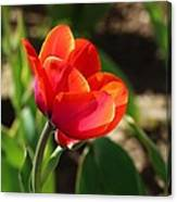Multicolored Tulip Canvas Print