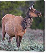 Munching Elk Grand Teton National Park Canvas Print