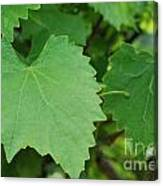 Muscadine Leaves Canvas Print