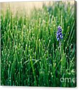 Muscari Or Grape Hyacinth Canvas Print