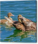 Muscovy Family Canvas Print