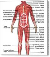 Muscular System In Male Anatomy Canvas Print
