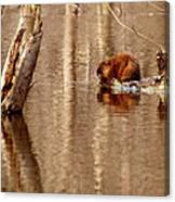 Muskrat In Flooded Waters Canvas Print