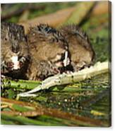 Muskrat Trio Canvas Print