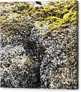 Mussels Barnacles Seaweed Closeup Canvas Print