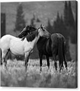 Mustangs Grooming 1 Bw Canvas Print