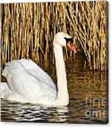 Mute Swan By Reed Beds Canvas Print